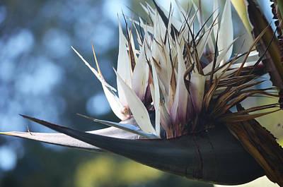 Photograph - Black Bird Of Paradise by Deprise Brescia