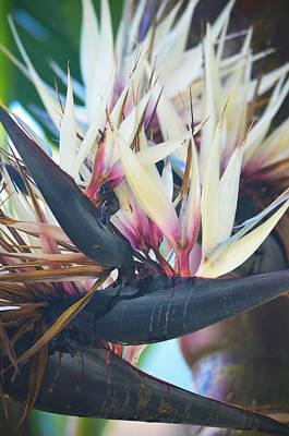 Photograph - Black Bird Of Paradise Speaks by Deprise Brescia
