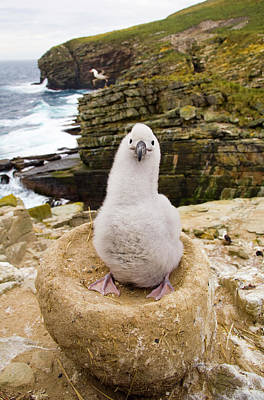 Albatross Photograph - Black-browed Albatross Chick Falklands by