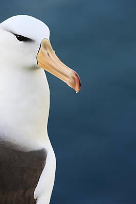 Photograph - Black-browed Albatross Falklands by Heike Odermatt