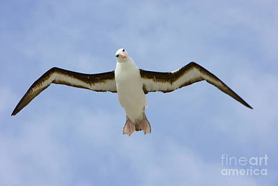Black-browed Albatross Flying Art Print by Yva Momatiuk John Eastcott