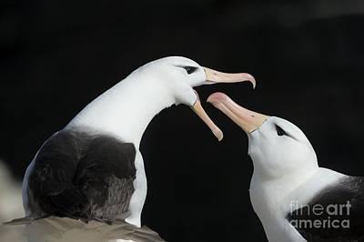 Sea Bird 2 Photograph - Black-browed Albatross Pair by Dr P. Marazzi