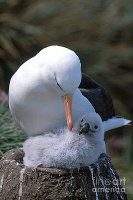 Black-browed Albatross With Chick Art Print