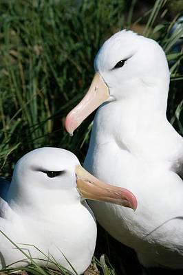 Black-browed Albatrosses Art Print