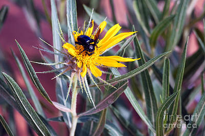 Photograph - Black Bumble Bee On Dune Sunflower by Martha Marks