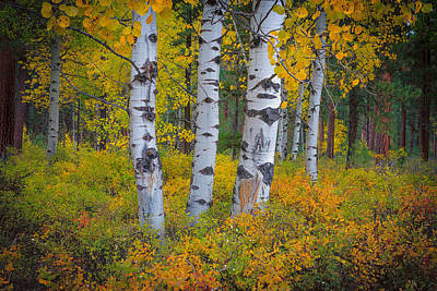 Black Butte Ranch Photograph - Black Butte Aspens by Greg Waddell