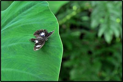 Photograph - Black Butterfly by Achmad Bachtiar