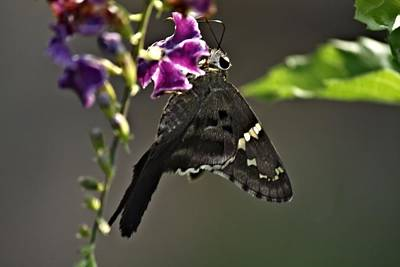 Photograph - Black Butterfly by Elery Oxford