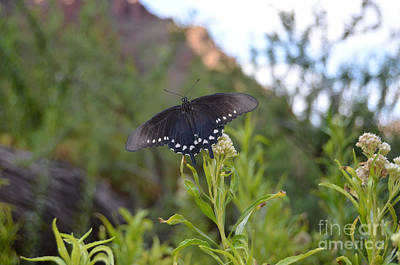 National Park Photograph - Black Butterfly Macro At Bottom Of Grand Canyon by Shawn O'Brien