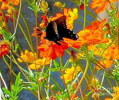 Photograph - Black Butterfly On Orange Wildflowers by Janette Boyd