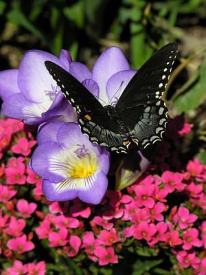 Photograph - Black Butterfly by Robert Lozen