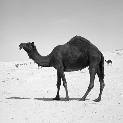 Photograph - Black Camel In Qatar by Paul Cowan