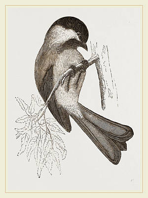 Titmouse Drawing - Black-cap Titmouse by Litz Collection