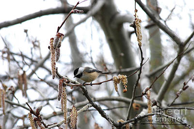 Photograph - Black-capped Chickadee 20120321_40a by Tina Hopkins