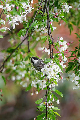 Chickadee Photograph - Black Capped Chickadee by Bill Wakeley
