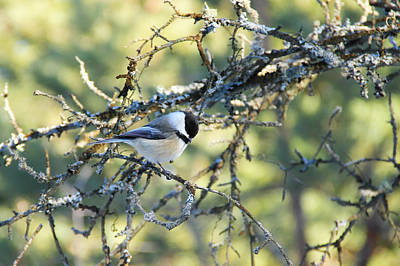 Starkey Photograph - Black Capped Chickadee by Debbie Oppermann