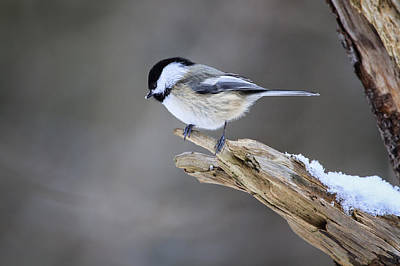 Black-capped Chickadee Art Print by Gary Hall