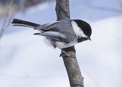 Photograph - Black Capped Chickadee by Gerald Murray Photography