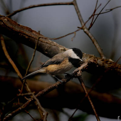 Photograph - Black Capped Chickadee - In The Shadows 06.03.2014 by Jai Johnson
