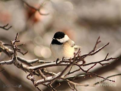 Photograph - Black-capped Chickadee by J McCombie