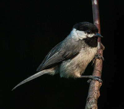 D700 Photograph - Black-capped Chickadee by Jim Moore
