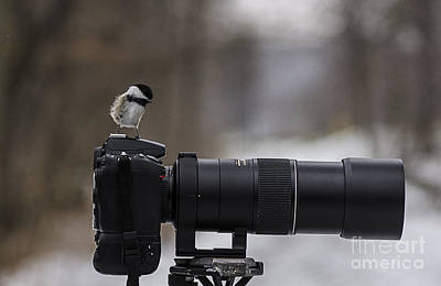 Photograph - Black-capped Chickadee by JT Lewis