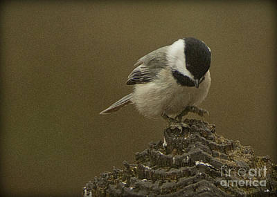 Photograph - Black-capped Chickadee Landing by Sandra Clark