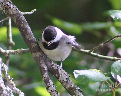 Photograph - Black Capped Chickadee by Leone Lund