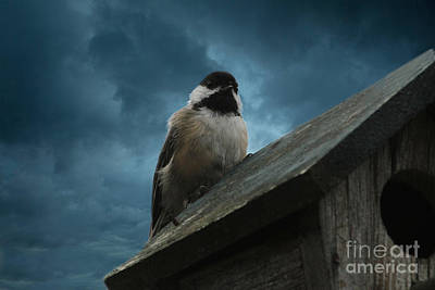 Photograph - Black-capped Chickadee  by Marjorie Imbeau