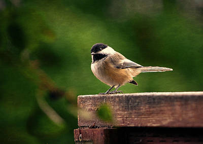 Birds Living In Nature Photograph - Black Capped Chickadee On A Fence by Maria Angelica Maira