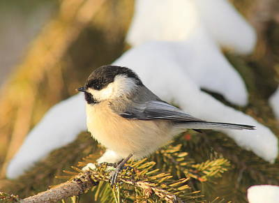 Photograph - Black Capped Chickadee On Snowy Spruce by John Burk