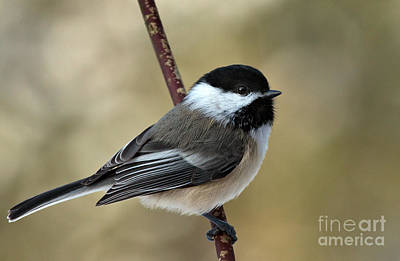 The Champagne Collection - Black Capped Chickadee by Rick Mousseau