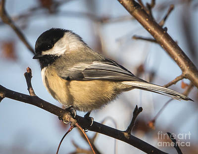 Photograph - Black-capped Chickadee by Ricky L Jones