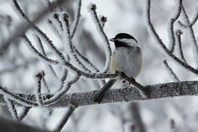 Art Print featuring the photograph Black-capped Chickadee by Ryan Crouse