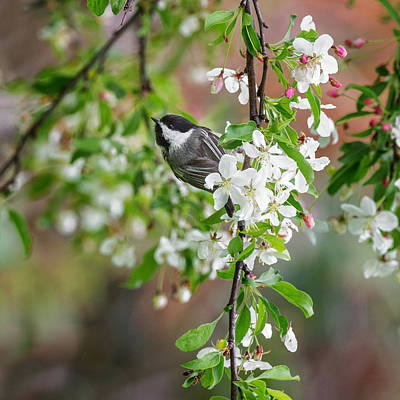 Chickadee Photograph - Black Capped Chickadee Square by Bill Wakeley