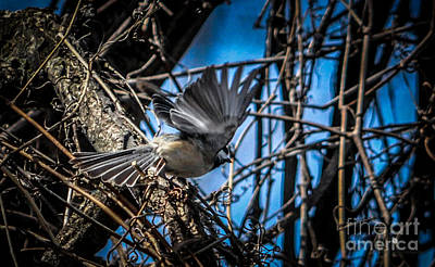 Photograph - Black Capped Chickadee Start Of Flight by Ronald Grogan