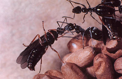 Photograph - Black Carpenter Ants by Harry Rogers