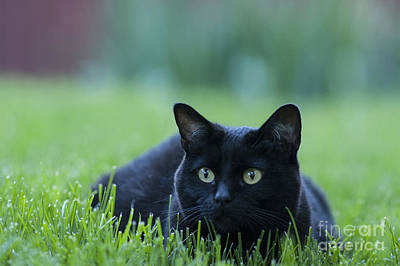 Color Image Photograph - Black Cat by Juli Scalzi