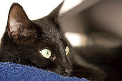 Photograph - Black Cat Looking Away by Melinda Fawver