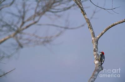 Black-cheeked Woodpecker Art Print by Art Wolfe