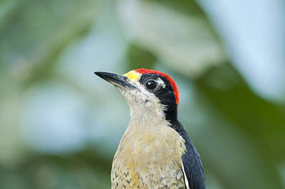 Cheek Photograph - Black-cheeked Woodpecker Male Andes by Tui De Roy
