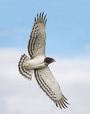 Black-chested Snake Eagle Circaetus Art Print by Panoramic Images