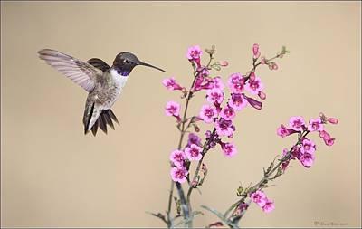 Photograph - Black Chinned Hummingbird by Daniel Behm