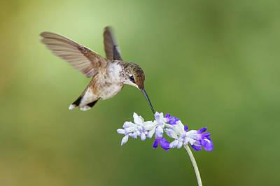 Nectaring Bird Photograph - Black-chinned Hummingbird Feeding by Larry Ditto