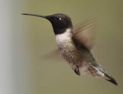 Photograph - Black-chinned Hummingbird by Frank Madia