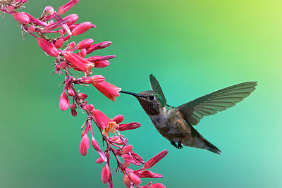 Photograph - Black Chinned Hummingbird by Mary Lee Dereske