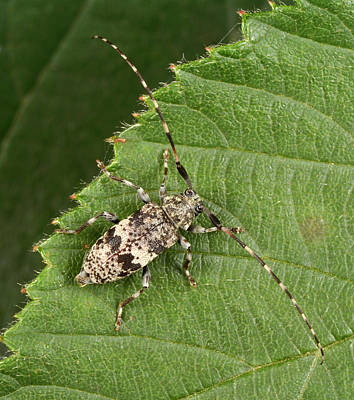 Patched Photograph - Black-clouded Longhorn Beetle by Nigel Downer