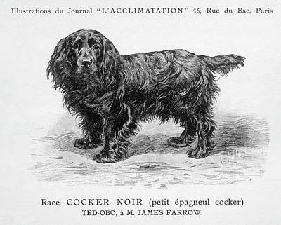 Cocker Spaniel Drawing - Black Cocker Spaniel by Mary Evans Picture Library