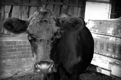 Greenville Photograph - Black Cow by Kelly Hazel