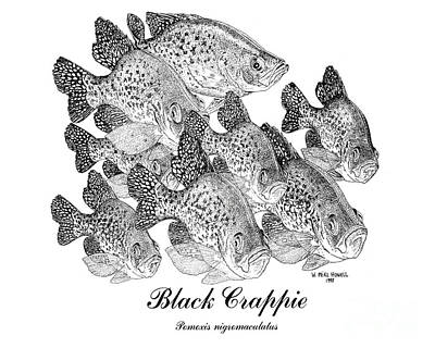 Black Crappie Painting - Black Crappie-poxomis Nigromaculatus by Mike Howell
